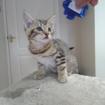 Light Tabby Kitten 2017