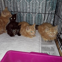 Kittens_Ging_Black
