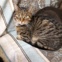 ** RESERVED ** Meet Buddy our handsome tabby boy. He came to us as a stray, but has obviously been deemed as feral by another rescue in the past as he has been ear tipped. There is nothing feral about this boy, he is a young, neutered male of approx 3 years old. A cuddly chap who is a real gent with the other cats.