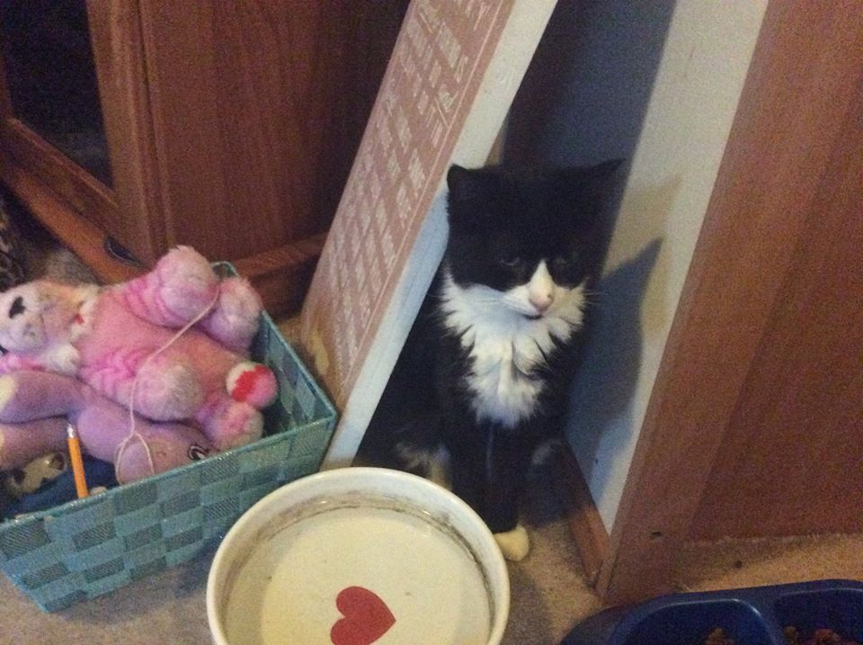 ** ANGEL AND CHRISEY ** Angel and Chrisey are now in need of a new home. They are neutered and chipped ladies of approx 18 months old, and currently living in a foster home. Being ex feral cats they are initially shy but will soon learn to trust there their new mum. will just need someone happy to be patient with them. They are both happy to be stroked but Angel is still wary of coming for a cuddle. We are looking for a quiet, calm home for these two girls, they could however live with quiet natured cat friendly dogs.