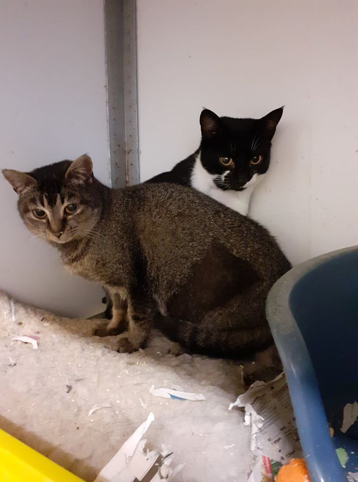** LOIS AND LARA ** Lois and Lara are two little girls recently trapped on a poultry farm. They are approx 7 months old spayed and felv/fiv negative and chipped and now ready for a new home. Lara is very confident but Lois is still a bit reserved. They compliment each other beautifully and will only be homed as a pair.