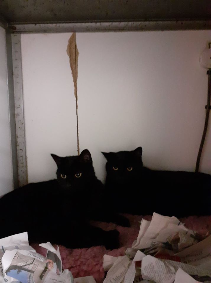 Shadow_Sapphire_Cats