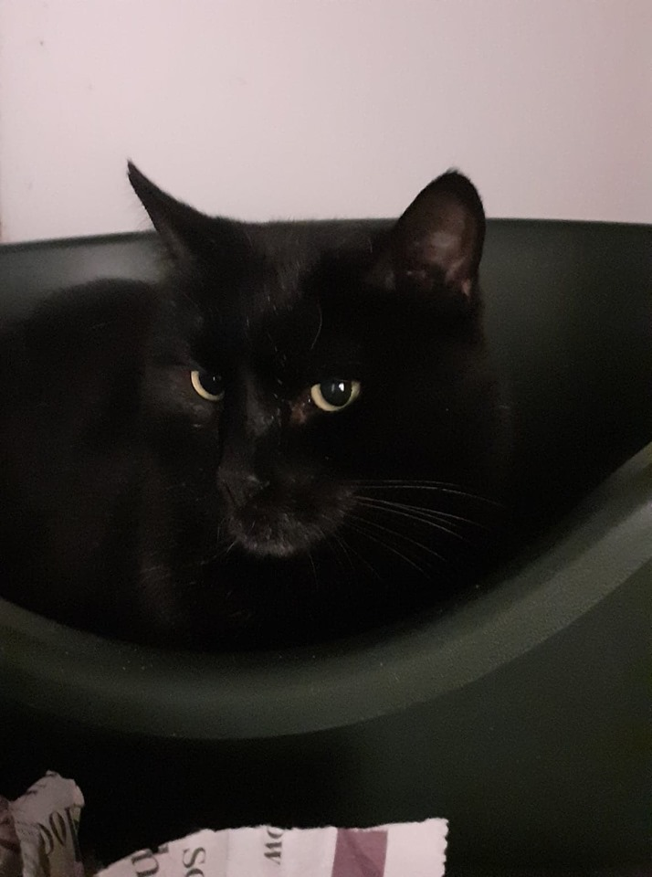 ** BAGHEERA ** Bagheera is a gent of 7 years old, a really gentle boy. He would love a quiet life but could live with other cats.