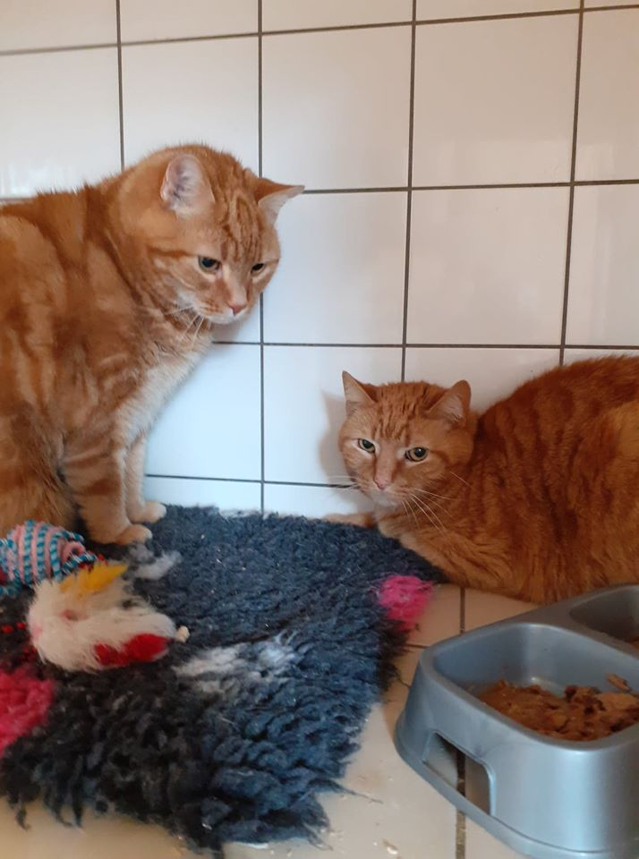 ** RESERVED ** Dudley and Roley are 13 yr old boys in desperate need of a new home. They are adorable, in good health, but Dudley does need to go on a diet and lose a few pounds. They would like a quiet home with no other pets or children and a safe garden that they can explore. They have been totally spoiled by their mum who has now sadly died.