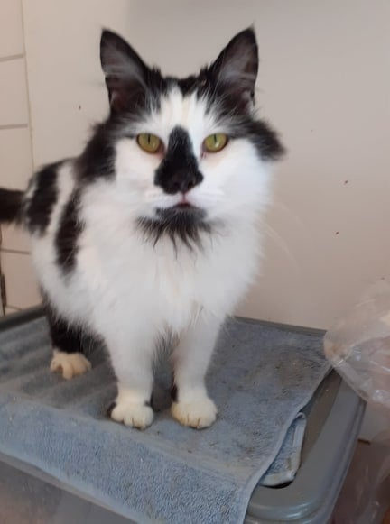 ** RESERVED ** Our Igor also needs a new home. He began life as a feral boy, but is now the cuddliest cat here. He is approx 4 yrs old and just adores everyone he meets, he has little loyalty and anyone\'s lap will do. He could live with other cats, well behaved dogs and children, and would definitely enjoy some outside time in a safe garden. He will need a bit of grooming to keep himself looking smart, but has no issues with that and laps up any attention he is given.