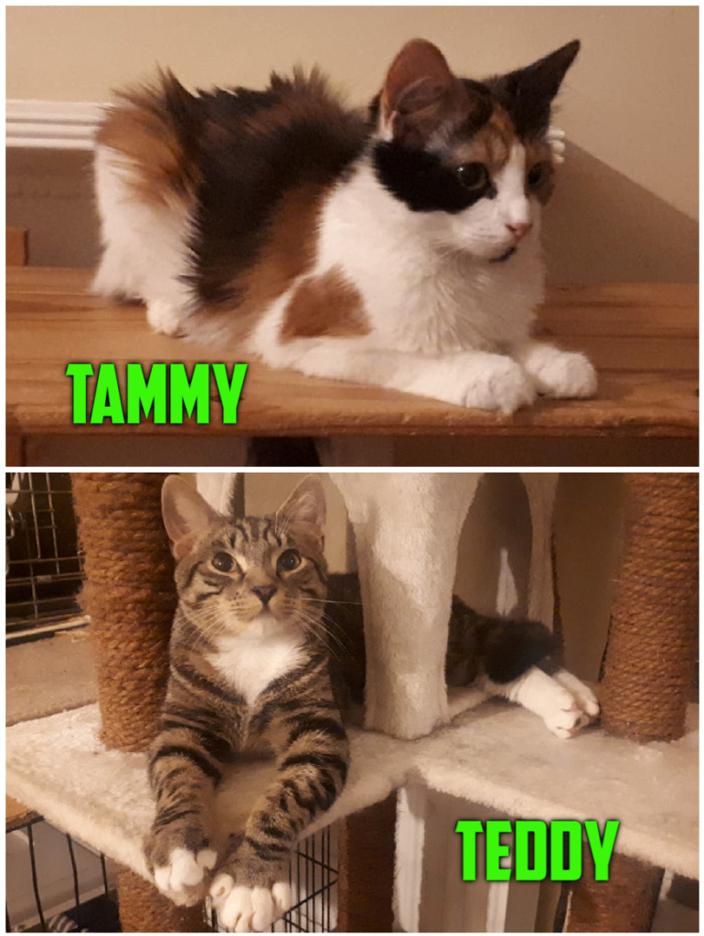** TEDDY AND TAMMY ** Teddy and Tammy are a super sweet pair looking for a home together in/around the Ipswich area. 8 months old, neutered, chipped, flea/worm treated. Tammy is a super confident little girl, she is into everything, & loves attention & fusses. Teddy is a little more cautious than his sister, but does love to play & enjoys his cuddles once he knows you. They are used to kiddies, so we will home will 1 or 2 well mannered children. We will not home with a dog or other cats as they scare Teddy. They will initially require a sanctuary room, that is not linked to an exterior door. They will want access to a safe outside space when old enough & fully settled. If you are interested please email thier fosterer direct at andreagrenfell@hotmail.com or message us on facebook.