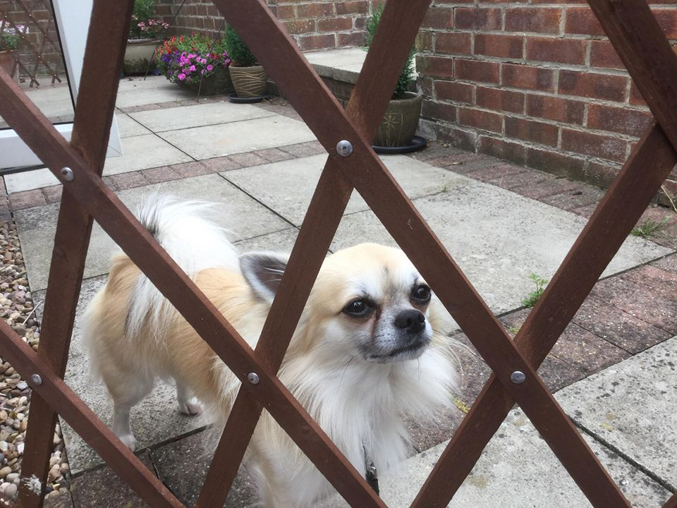 ** BUDDY ** Buddy the chihuahua is 16 months old, now neutered. He is currently in a foster home learning some new rules so not ready for rehoming yet. However we will take enquiries about him at this time. He has a history of biting and is doing much better now. He will be looking for an adult home and could maybe settle with another dog.