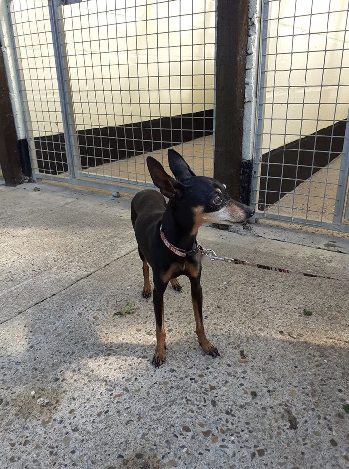 ** NESSIE ** Nessie is a miniature pinscher of 8 years old. She has been spayed and is the sweetest girl. She has lived with another dog but we would like a home for her on her own. She can be noisy when left so needs a home where she won't be home alone.