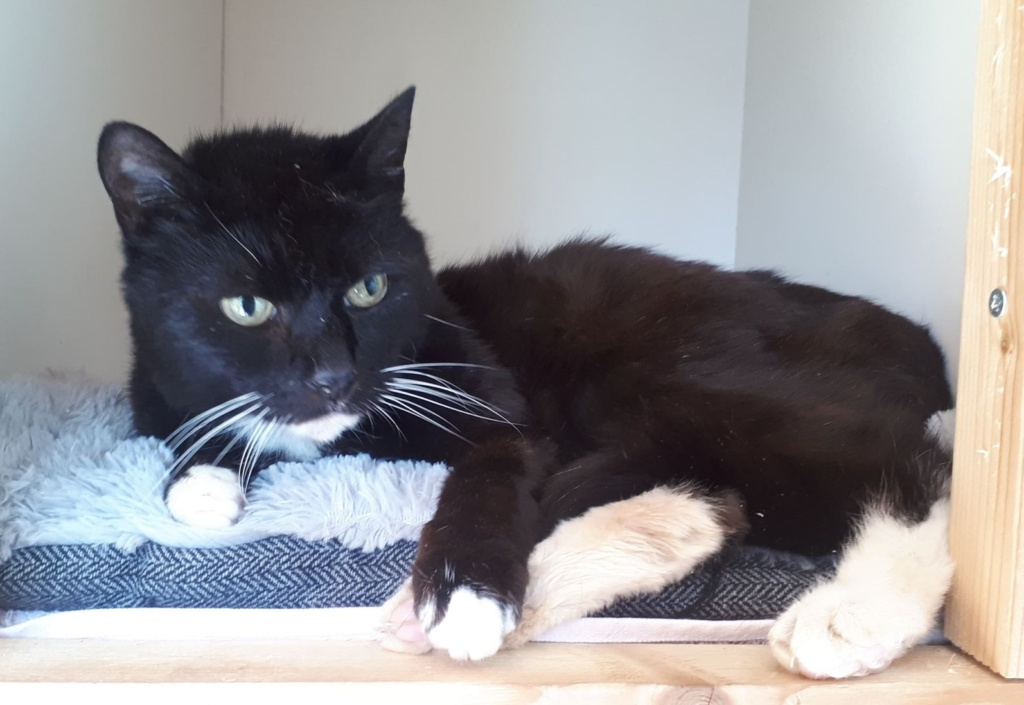 ** ALAISTAIR ** Alaistair is such a sweet boy. We believe he was left behind in a house move & was living as a stray for some time before he came to us. Alaistair is an older boy, at least 10 years old, he is a sweet shy, gentle little fellow. He is very unhappy being close to other cats, so he will need to be an only cat. Al needs a quiet, adult only home where he will get all the love & fusses he deserves. He loves having his head rubbed & turns into a real purr monster when relaxed. He would make an ideal companion for the right person/s. Al will want access to a safe outside space when fully settled. If you think you could offer this gorgeous boy the forever home he deserves please email us or email his fosterer directly at andreagrenfell@hotmail.com, including your address so we can check that outside space is safe & away from busy roads, etc. Thank you.
