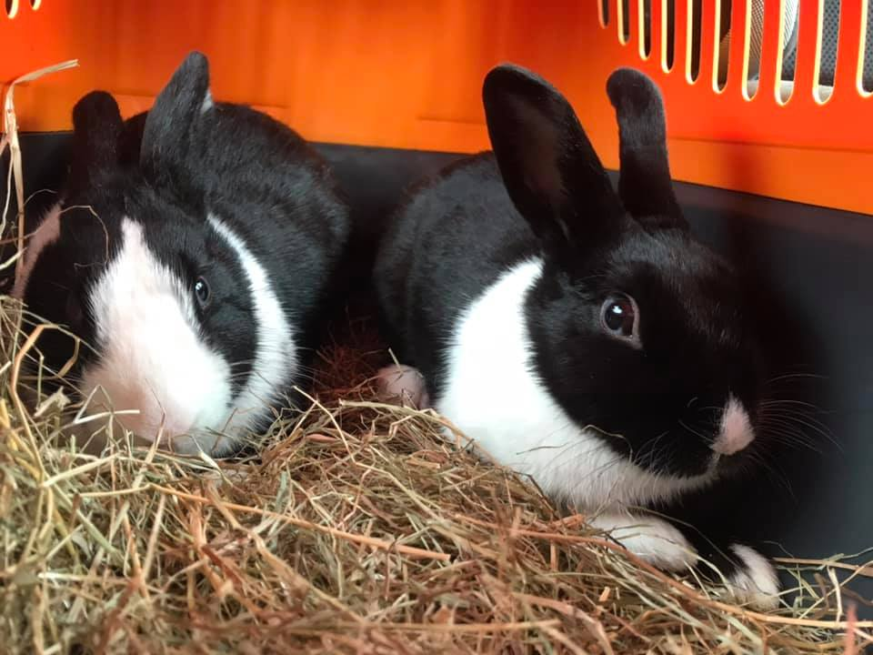 ** MOLLY AND MARGO ** These two girls are vaccinated, chipped and neutered. They will need a male friend to bond with. They could possibly stay together and join a Male to make a trio or can be seperated to bond with males of their own. They are around 8 months old and small breed ladies.