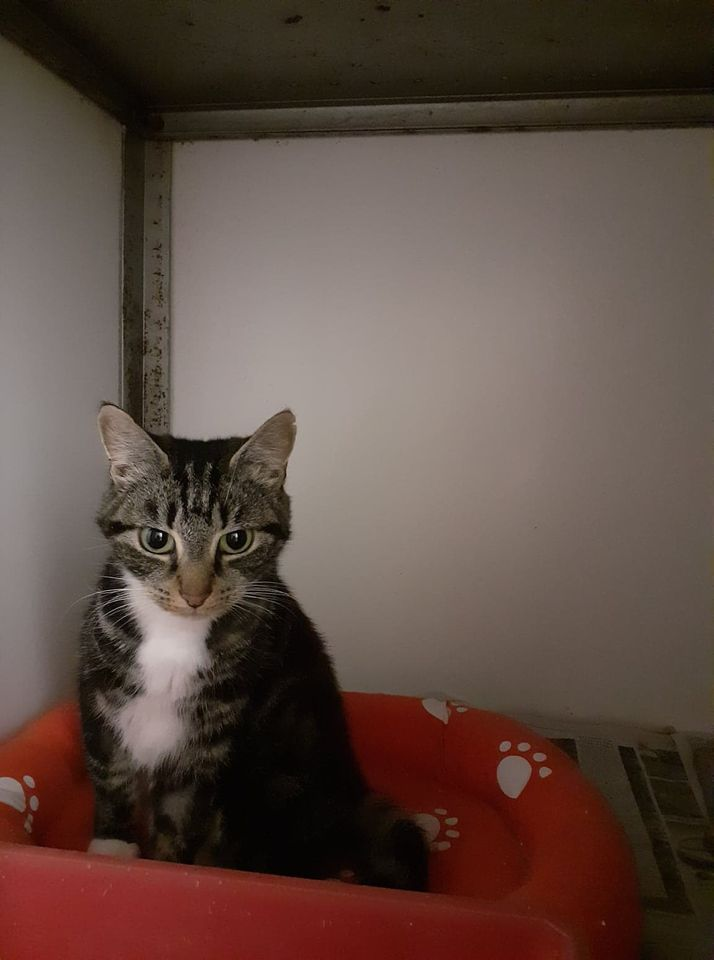 ** RESERVED ** Here is a dainty little girl, Tina. She came in as a stray, has been spayed and chipped and estimated by the vet to be around 2 years old. Tina is a sweet and gentle girl, very confident and could very likely live with other cats and older children. If you think she could fit into your household do get in touch.