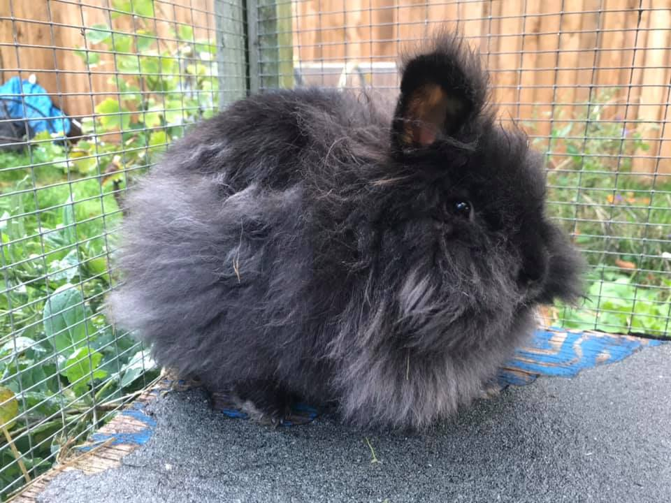 ** GWEN ** This lovely female is around 2 years old. She is a friendly girl but does take a considerable amount of brushing. She is vaccinated, neutered and microchipped. She will need a neutered Male to bond with.