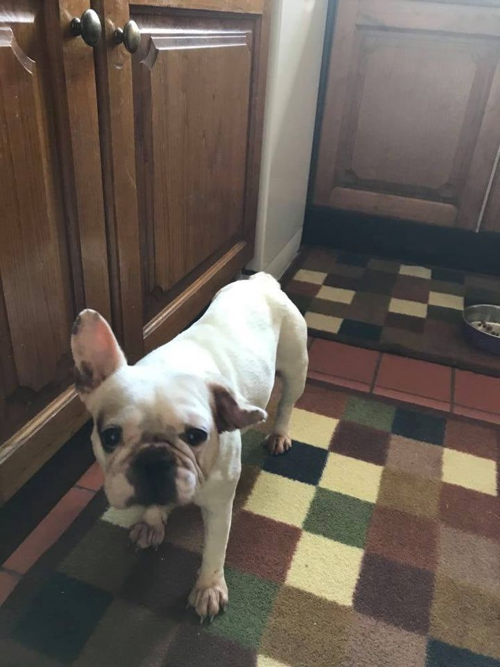 ** YODA ** Yoda is a 2 and a half year old French Bulldog. She is now spayed and due to have BOAS surgery at the end of a the month. She is a very sweet little dog but will need a home with somebody experienced with her breed.  Would benefit with some canine company.