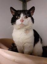 ** RESERVED ** Benson is a sweetheart. Approx 4 yrs old he has spent too long living as a stray.Thankfully we were contacted when he suffered another fight injury and was lame on a leg. Now neutered and chipped and all healed up, and thankfully negative for FIV/Felv. He is gentle boy who would like a quiet life, and will not be wanting to stray far from home. Holly is another of our exferal cats. Having been homed as a kitten she sadly was let outside before she had been neutered. Poor Holly has spent the last 2 years living wild and having kittens and fighting to survive. She is a young lady of approx 3 yrs old. Still a bit shy but enjoys a stroke especially at dinner time. Holly will need a bit of time and patience when she moves to her new home and a secure room to settle in. She would benefit from some feline company.