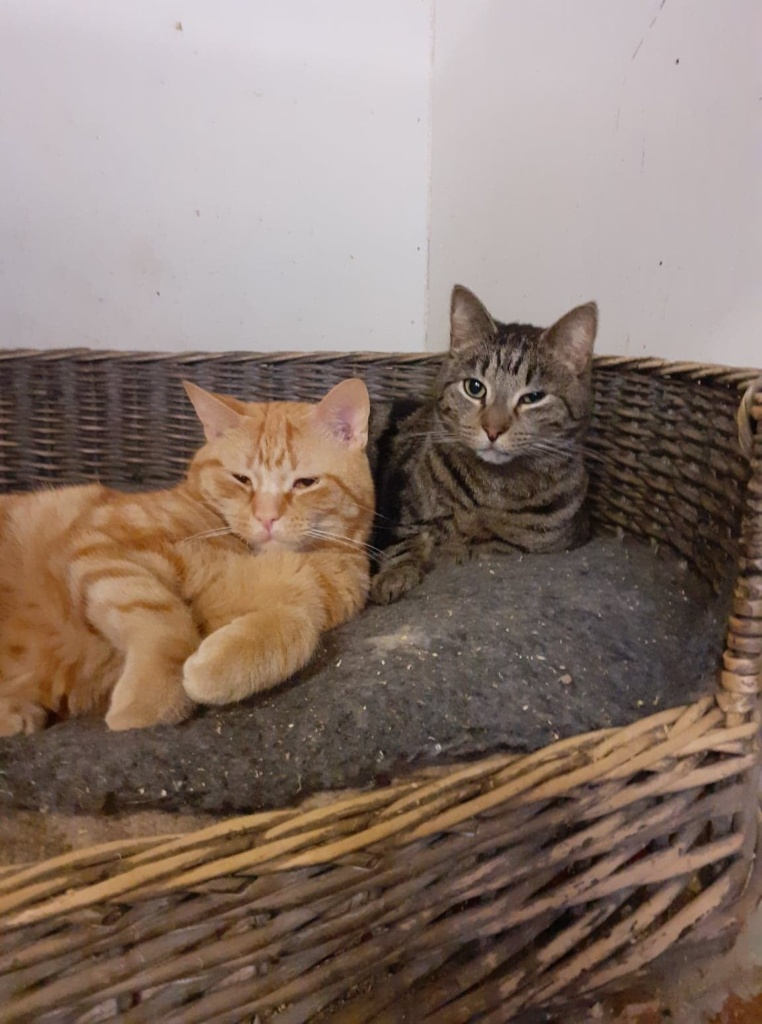** GINGER AND BUMBLE ** Ginger and Bumble are the best of mates, but not related at all. Both young boys of 2/3 years old, both neutered, chipped and FIV/Felv negative. Both have been born feral so still have a way to go before being over handled, but very confident around us now and happy to share human space. They must have a safe room and no access to outside for many weeks to come. These boys are adorable but need very gentle encouragement to make themselves at home.