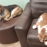 ** RESERVED ** Lola, bassett hound x and Charlie a cavalier are the sweetest dogs. They are OAPS and need a home that can give them lots of time and attention. Lola is 12 yrs old and Charlie is 10 yr old. They are very fit and well. Lola has a couple of fatty lumps and has just had one removed on her head that was bothering her as she had scratched it and made it very sore. They are friendly with everyone having lived with cats, dogs and could be homed with older children who are not going to be pulling them about. Sadly they are victims of a marriage breakup. They are both neutered , vaccinated and chipped. They will only be homed together.
