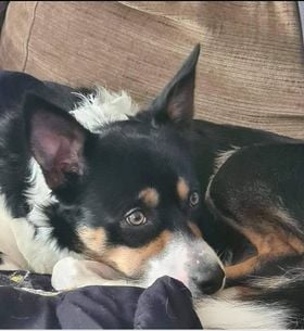 ** MAX ** Max is an approx 2 yr old collie. He is about to go in for castration, and is chipped and vaccinated. He is a lovely boy, but a typical collie, and has loads of energy. Max will not be homed with children as has bitten a child in the home. He has lived with other dogs and cats and is basically a good boy. Max would love an active life where he can use of some of his surplus energy, maybe as an agility dog. He does need some training, but is a keen learner.