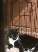 ** MIA ** Mia is a young ex feral lady originally trapped at Felixstowe dock. She is approx 1 yr old, spayed and chipped and has now become a confident little girl. She is very used to other cats and could live with well behaved older children. She will need a quiet space for her settling period, a safe space with no escape as she will need a couple of months to adapt before venturing outside.