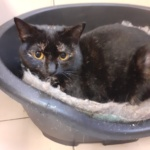 ** RESERVED ** Busy Lizzie is another exferal girl who has now really found her feet. She is young lady who had been living feral in a garden having kittens and fighting to survive. She is a young lady now neutered and chipped and quite likes feline company. She will also need time to settle in with a safety room to avoid any danger of too early escape but is now happy to be handled here.