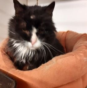 ** NIGEL ** Nigel is an older chap of approx 10 years old. He came to us as a stray, it was thought his owners had moved away and left him. He is quite a character and certainly loves his food. He is neutered and chipped and negative for FIV/Felv too. He has just had a littler cyst removed off his head this week, but all is healing well. Nigel would like a quiet home where he can rest in peace with food on tap and his toys around him, he does like to have a funny 5 minutes.