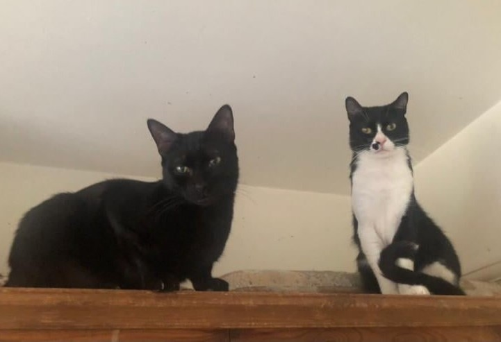 ** PHIL AND TED ** Phil & Ted need someone/s very special & very patient to fall in love with them & offer them a home in/around the Ipswich area. Littermates, approx 18 months old, they are ex-ferals who are still learning to trust humans. They love to play, with each other, with toys & with humans that have toys, but are still not ok with being stroked or picked up. This will take time & patience, but we know they will get there as they are already so much more trusting than when they arrived here 10 weeks ago. They will need a sanctuary room that is big enough for them to run around and make their own for many weeks, & they will need to be kept indoors for many months until they are fully settled in, (so that will mean doors & windows shut in the summer). When settled, they will want access to a safe outside space away from busy roads &other possible dangers. Phil & Ted could be homed with other laid back cats, but Ted especially is very full on & expects other cats to play with him on demand, so they may be better suited to being only cats. We will not home them with dogs or younger children under 12. These boys will take some work, but they are worth it. So clever, so funny, so naughty, typical orientals! If you think you can offer these gorgeous boys the home they deserve, please email their fosterer directly at andreagrenfell@hotmail.com, including your address.