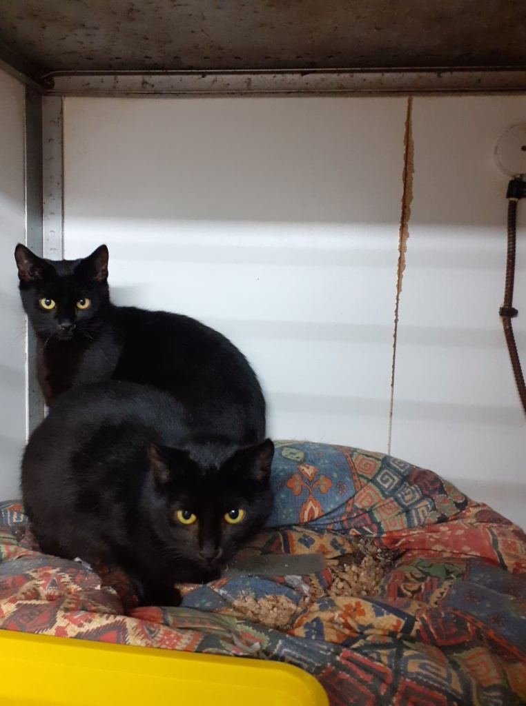 ** AIMEE AND ASTRA ** These 2 lovely girls are Aimee and Astra. They began life living feral at a poultry farm. They are approx 18 months old and sadly had already had a litter of kittens each. They are now spayed and chipped and ready for a proper loving home. They need a quiet, patient home where they will be given a safe room to settle in. They could certainly live with other cats and older children. Once confident in their surroundings they are a playful pair, very gentle girls.