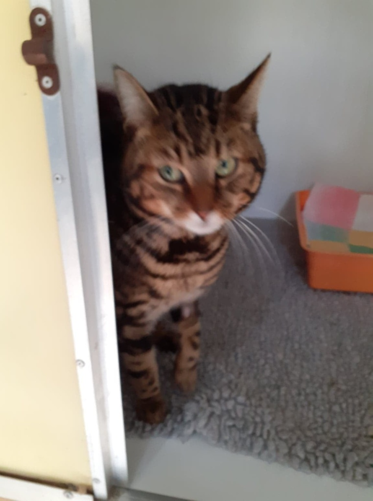 ** BUDDY ** Buddy, came to us from Ipswich as an injured stray tom cat. Sadly un neutered and no chip. He has now been to the vets for neutering and chipping but sadly tested positive for FIV. So sad, for such a young boy of 1 to 2 yrs old. He is a cuddly chap, and loves a cuddle but must have an INDOOR only home. Lovely boy would settle into a family home.