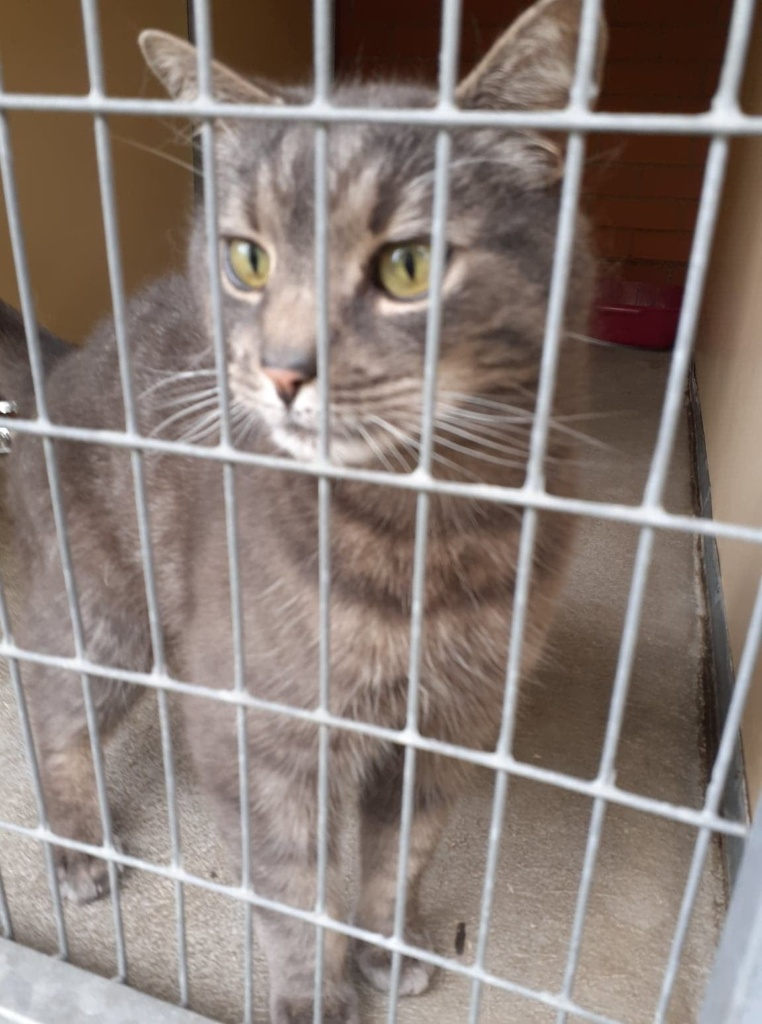 ** ALFIE ** Alfie is a sweet natured boy of 9 years old, who due to the death of his owner has come into our care. He is a healthy, happy boy who could live with well behaved children and probably could live with other cats too.