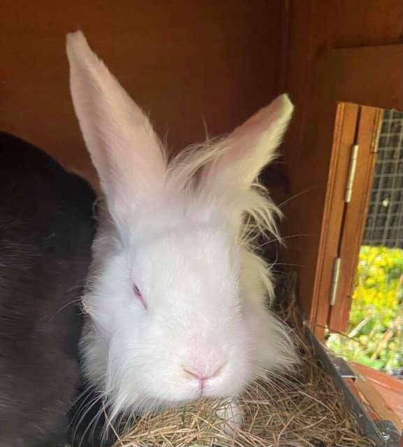 ** SCRUFF ** This is Scruff, a 6 month old lion head female. Scruff is looking for a neutered male companion. She is a friendly girl with lots of love to give. Scruff is vaccinated, microchipped and neutered.