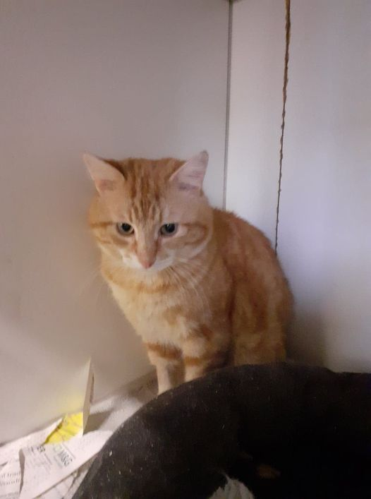 ** BRAMLEY ** Bramley is a handsome chap of estimated 5 yrs plus. He came to us as an injured stray and entire tom cat. He has now been neutered and sadly tested positive for FIV. He will need to have an indoor only home. Bramley was very frightened when he arrived with us but has grown in confidence and has even began to play with toys. Such a sweet boy, just needs lots of love, and someone willing to give him time to adjust to a new life. Local homes only please. Do contact us if you are interested in giving Bramley a forever home. email us at suffolkar@hotmail.com