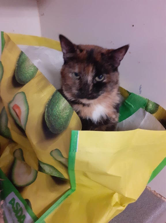 ** BUMBLE ** Bumble is an exferal girl needing to move on to a proper home. She is approx 3 years old and is very good with other cats, but not a brave girl so would not like to live with a dominant one. Bumble will need to be indoor only for a good couple of months, but we would eventually like her to be able to go outside to explore. She is happy to be stroked and combed now but still wary of being picked up. She does get called the Bag Lady here!