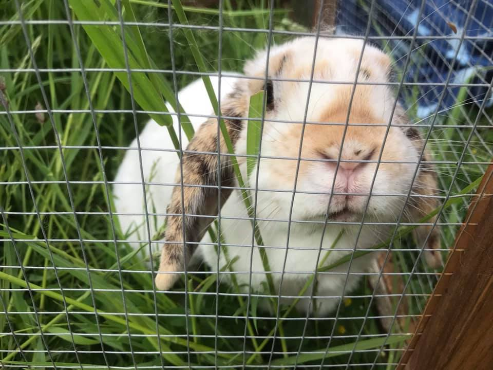 Rabbits and Guinea Pigs Needing New Homes