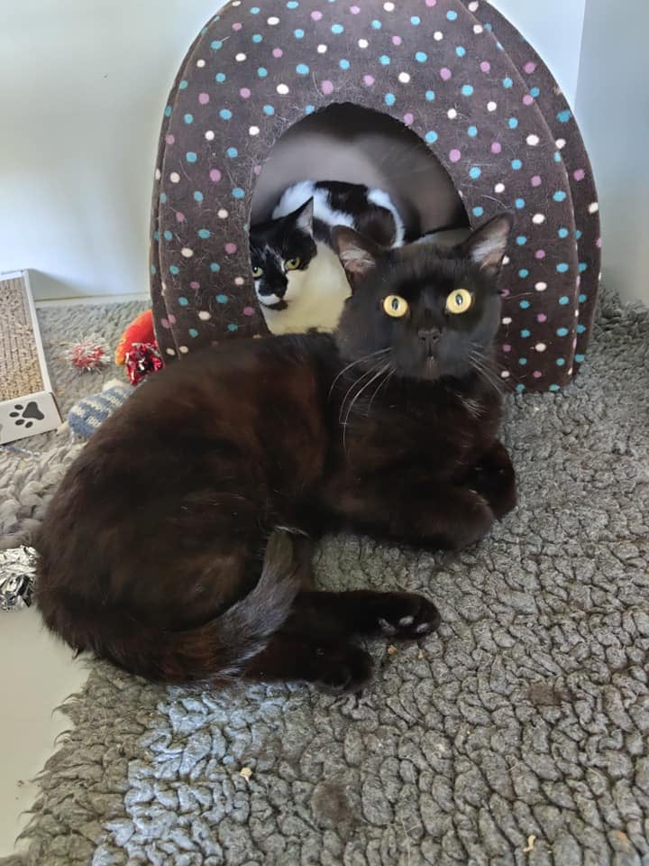** RESERVED ** Teddy and Patches need a home where they can stay together as they are very much a bonded pair. Teddy is a neutered male of approx 4 years old and just loves everyone and is desperate for cuddles. Patches is just 2 years old also neutered, blood tested and chipped. She is more reserved than Teddy but gets lots of confidence from him. They have both been living rough in a colony in Ipswich that we are clearing and are ready for a new life. They could live with other cats and older children. They will need to be kept indoors until totally settled and trusting of their new home.