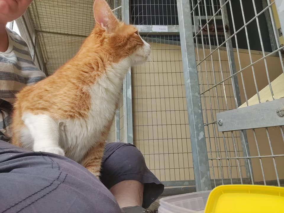** BIDIK ** Bidik has been with us a while now and so far has had no interest! Bidik is a 5 year old Ginger and white domestic shorthair who is looking for a special home. He began his life overseas as a hand reared kitten; because of this he hasn't had the best start on learning how to be a cat and lacks social graces. Bidik is an absolute charmer and loves having a fuss. He is a very playful boy who loves attention from his humans, so much so that he would need to be the only pet in the house as he wants all the attention to himself!! As lovely and cuddly as Bidik can be, he does have another side to him that new owners will need to be aware of and be able to manage! Unfortunately he has been known to quite severely attack his owners. Whilst we have not seen this side of him in kennels he will on occasion go to bite or scratch, because of this he is looking for an adult only home. Bidik for the most part is a handsome boy who craves and loves attention however he is looking for a home that has cat experience and that understands he can and has badly bitten in the past and this may continue in a new home. Bidik needs a lot of stimulation and therefore would like to go to a rural home away from busy roads so he can roam both inside and out. Bidik is not for the faint hearted and will need to go to a home with cat experience as he has been known to severely bite. As adorable and friendly as he can be, owners must understand there is another side to him. Bidik needs a child free, pet free home with the freedom to go outside and have a warm bed inside. Could you be the special home this boy needs?