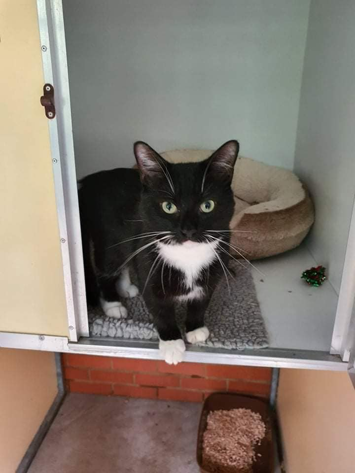 ** RESERVED ** Renni is a handsome black Domestic short hair cat who came to us as a stray. This poor boy has never had a home to call his own but his luck may change as he is now looking for his perfect home! Renni is 1 years old. Unfortunately as he was a stray we don\'t know much about his past however he was a very scared boy when he got here. He has now grown in confidence and enjoys and cuddle on his own terms. Renni is looking for a quieter home where after settling in he will have access outdoors. He is litter tray trained and eats a mix or wet and dry. Renni Loves to play in his tunnel and enjoys s good game with a teaser toy. He could live with cat savvy older children but we feel he would be better as an only pet. Is this handsome lad the cat you are looking for?