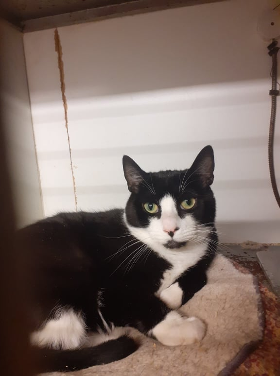 ** BENNIE ** Bennie is a handsome boy of approx 3 years old. He came to us as a stray entire tom cat, very frightened of everything. He has now been neutered and blood tested and is ready for a new home of his own. He is still shy of strangers but shows no aggression so needs a quiet place to settle in. Bennie would be happy with a young cat as company and it would certainly give him the confidence he lacks. He does need an adult home with not too much noise going on.