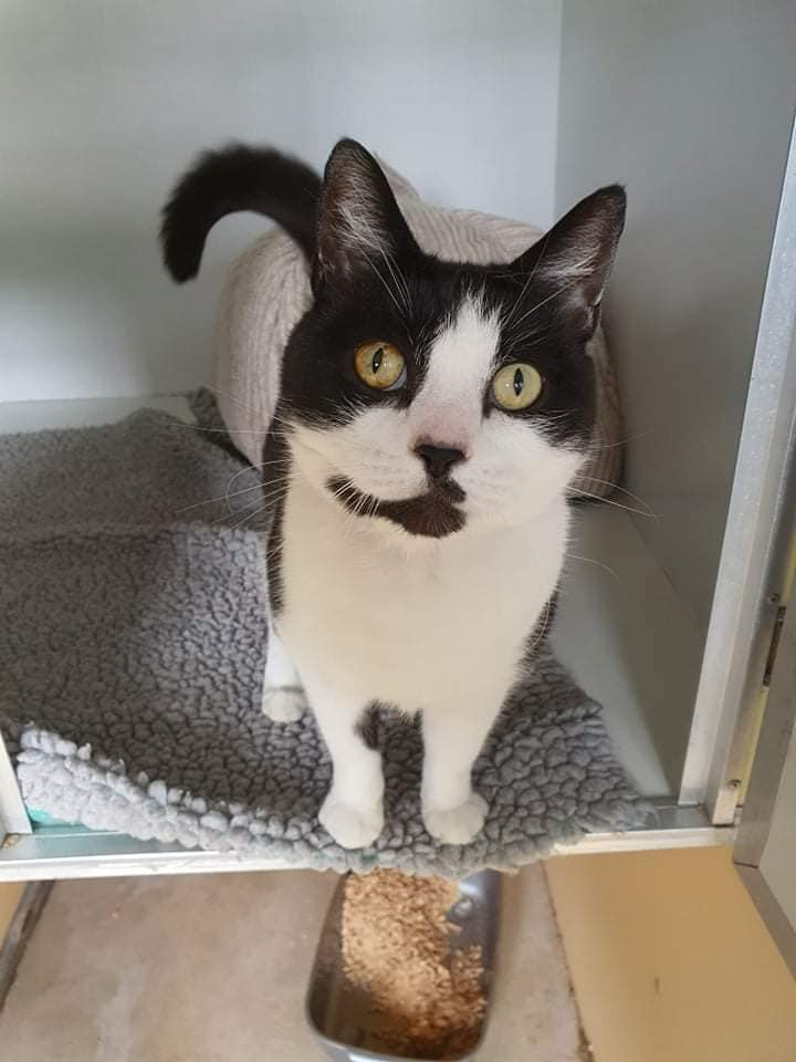 ** JESS ** Jess is a beautiful 7 year old black and white domestic shorthair. Jess is a very friendly girl and would love a lap to sit on. Jess can live with other friendly cats and cat savvy dogs; however she would like to live in an adult only home or a home with older children. Jess doesn't like loud noises and will hide if she becomes overwhelmed. Because of this she would rather not live with younger children and babies. Jess is a cuddly girl who will seek out her human for attention. Whilst she would love a lap to sit on she would also like an outside space to explore so will need to live away from main roads. Could Jess be your forever cat?