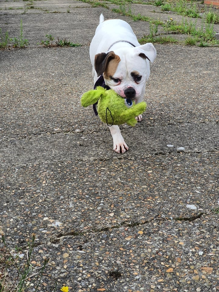 ** VINNIE ** Vinnie is a handsome 4 year old American bulldog Cross. He is looking for a special home who understands his training needs and can offer him ongoing training and guidance. Vinnie is reactive to other dogs and cats, due to this he needs to be the only pet in the home. He would prefer a home where he can have quiet walks away from other dogs. Due to his size and boisterous nature he would not be suitable for a home with young children but could live with older dog savy children He is a very playful boy and loves to run around with his toys. He loves a cuddle and bum scratch and has no issues with people at all. He loves to have a good sniff and roll around in the grass on his walks. He can be full on when he first meets you and can occasionally jump up in his excitement as he is just so pleased to see you Vinnie is currently undergoing training whilst he stays with us, this will need to be continued in his new home. Vinnie's new owners will need to visit him multiple times and will need to understand reactive dogs and their needs. Vinnie can live with adults and sensible older children. Ideally he would like new owners who have experience with reactive dogs and/or bully breeds. Would you be able to offer vinnie the home he deserves?