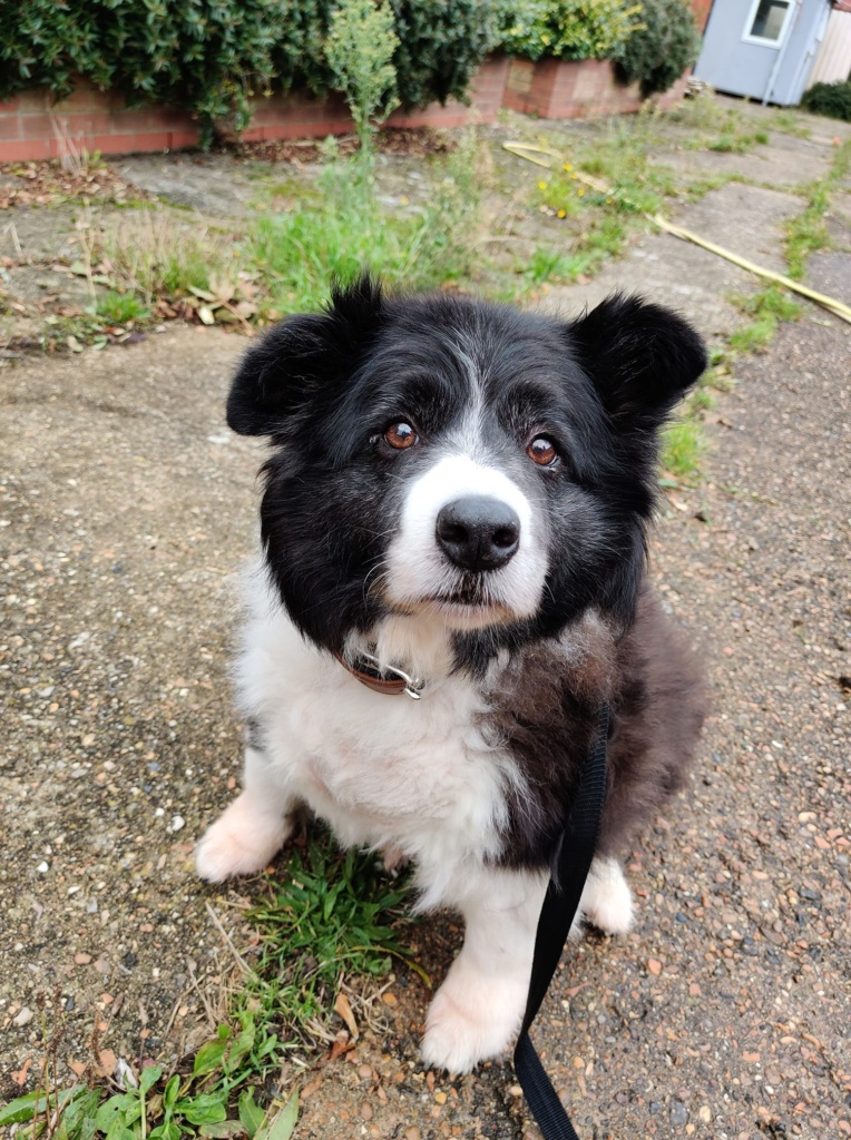 ** MEG ** Meg is a beautiful 10 year old Border Collie. Meg has found herself at kennels and would very much like a home to call her own. Meg is a golden oldie and is looking for a retirement home. She likes to potter around the garden and go on short slow walks. Meg has a lot of weight to lose so her slow short walks are absolutely essential to helping her lose weight. Meg is a loving girl who is looking for new owners who understand that she is a little older and not as playful as other dogs, but she still loves her cuddles! She would very much enjoy a spot on the sofa or rug where she can be comfortable and happy. Meg is looking for a home with no other dogs as she has shown some reactivity in kennels. She would like a home with no cats and no small children. She wouldn't mind sharing her new home with older, quieter children but doesn't want the hustle and bustle of a lively household. Meg is very overweight and will need new owners to continue her diet and exercise. She walks well on a lead although is a little slow. Meg is showing signs of starting to lose her hearing which is quite common in older dogs. Although she is a little older she still has plenty of life and love to give. Meg is very affectionate and would love a home to call her own! Could you be Meg's forever home?